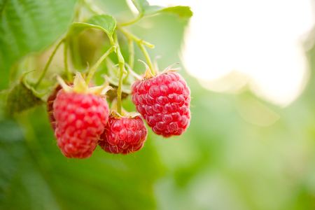 Close-up Image of Red Ripe Raspberries Growing in the Garden Stock Photo