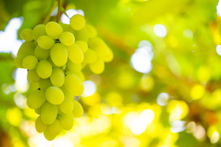 Close-up Image of Ripe Bunche of White Wine Grapes on Vine Stock Photo