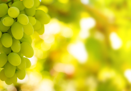 Close-up Image of Ripe Bunche of White Wine Grapes on Vine Imagens