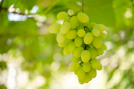 Close-up Image of Ripe Bunche of the White Wine Grapes on Vine Banque d'images - 122698241