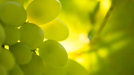 Close-up Image of Ripe Bunche of the White Wine Grapes on Vine Banque d'images - 122698245