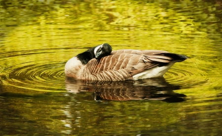 A Canada goose is relaxing photo