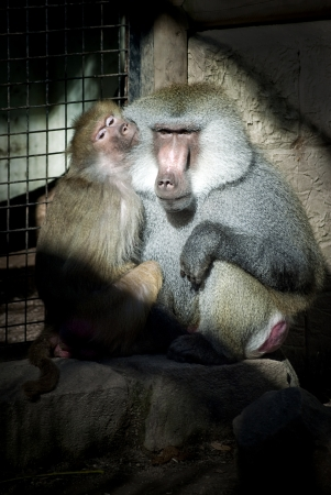 captives: Two captives baboons Stock Photo
