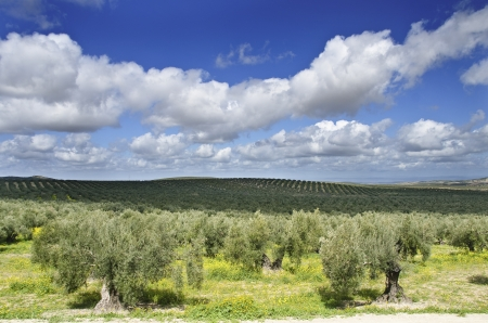 Olives and cloudy sky  Mediterranean cultive Stock Photo - 18803157