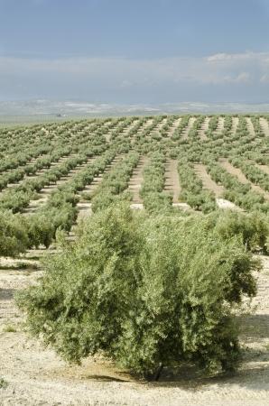 Olives cultivation  Banco de Imagens