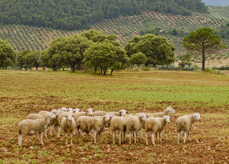 mediterranean forest: Sheets group in mediterranean landscape Stock Photo