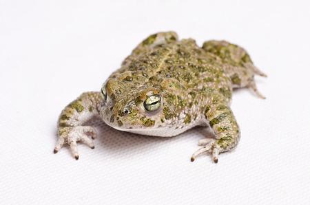 bufo bufo: Isolated on white runner toad (Bufo calamita, spanish sapo corredor) Stock Photo