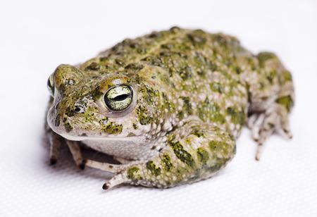bufo bufo: Isolated on white runner toad (Bufo calamita)
