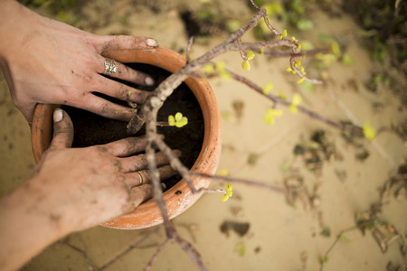 soilless cultivation: preparation and transplanting plants with bare hands in a pot Stock Photo
