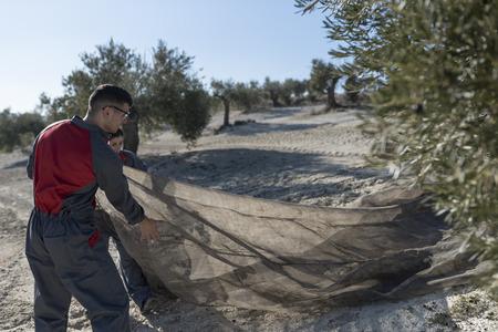 werknemers verzamelen olijfolie in jaen, Spanje. Zwarte olijvenoogst