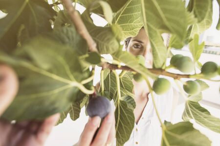 mid adult woman collecting figs in tree selecting matures from inmatures in summer image