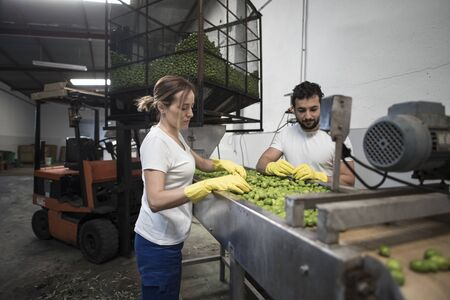 Couple of workers selecting olives for fermentation and sale