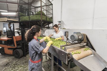 Wide angle image of worker women selecting and cleaning fresh olives in real company