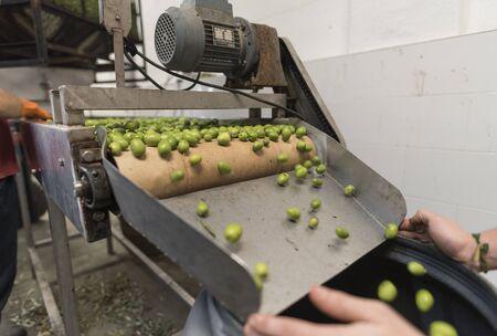 Olives in conveyer belt being packaged in barrels in olives factory