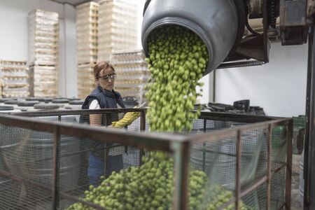 Woman revise olives falling into a cage in food processing and storage company Imagens