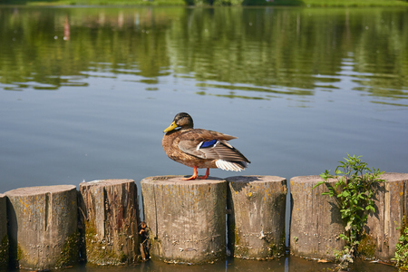 Duck stands on a log near a pond in the park Фото со стока