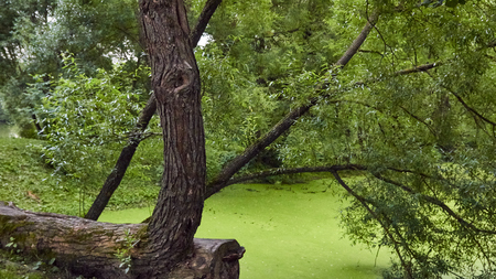 Lake with duckweed in forest at summer