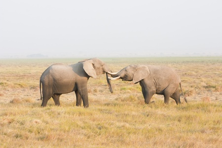 Two elephants stand face to face Standard-Bild