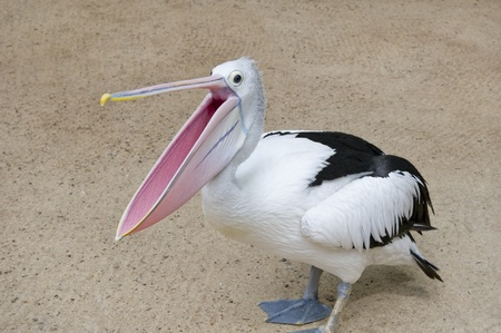 Pelican with open beak