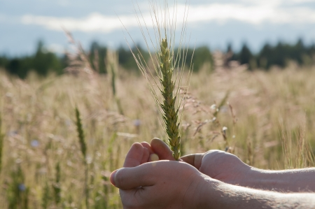 Farmer hand keep green wheat spikelet in the field photo