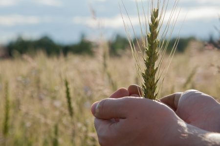 Farmer with wheat in hands. Field of wheat on background. photo