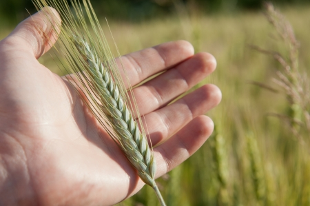 Farmer hand keep green wheat spikelet in the field Stock Photo - 14366971