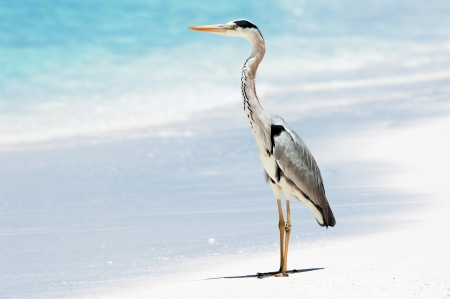 Grey Heron stands on the beach near the sea with the turquoise blue water