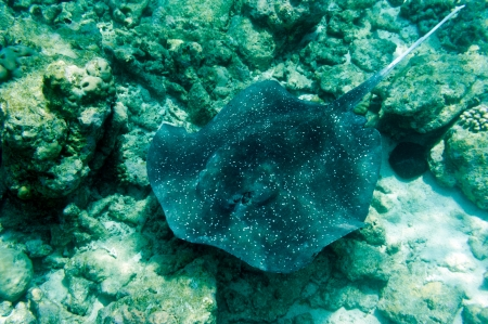 spotted ray: stingray in the sea with coral