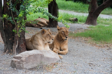 Two lionesses lie near the tree photo