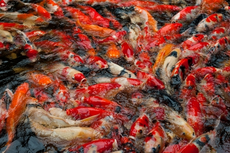 Big school of red fish in the water Stock Photo - 23696084