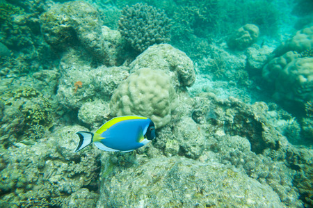 Powder Blue tang, Beautiful Blue fish above corals reef photo