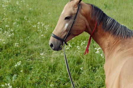 Beautiful brown horse lie on grass field Standard-Bild