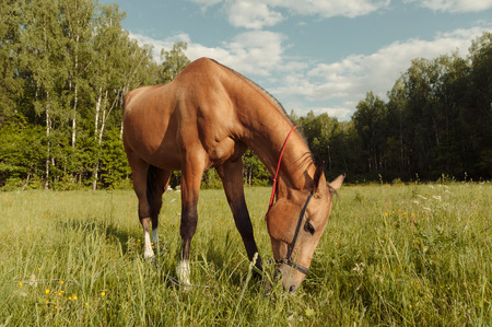 Brown horse eat grass in field at sunset