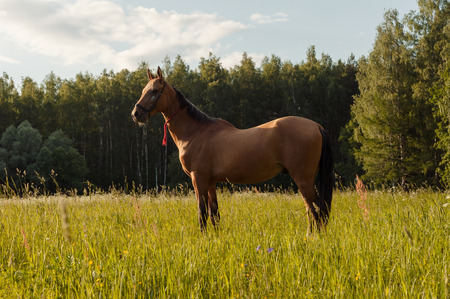Beautiful brown horse stay in grass field at sunset