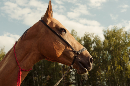 Close up portrait of horse in field outdoor at sunset