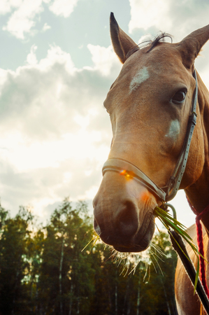 Beautiful brown horse eat grass in field against the sun, close-up portrait