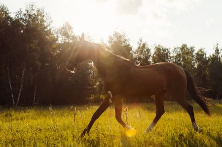 Beautiful brown horse run in a field at sunset