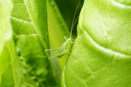 camouflaged: Green camouflaged grass hopper Stock Photo