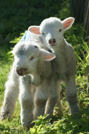 rack lamb: Cute English Spring Lambs