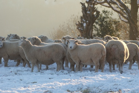 lambing: Winters Flock of Sheep