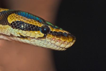 Python Snake Head Stock Photo - 10616472