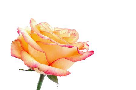 graft: isolated peachy rose Stock Photo