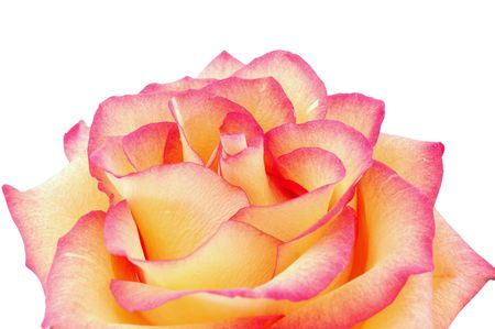 isolated peachy rose photo