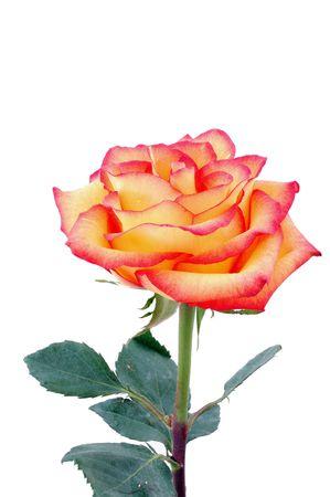 isolated peachy rose photo