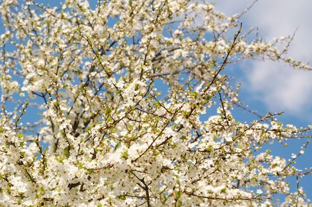 spring blossomed tree photo