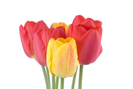 isolated spring tulips photo