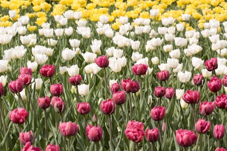 meadow with the motley bright spring tulips Stock Photo - 2997538