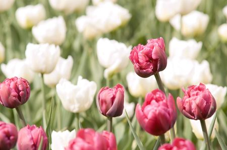 meadow with the motley bright spring tulips Stock Photo - 2997530