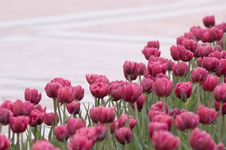 red bright spring tulips Stock Photo - 2997532