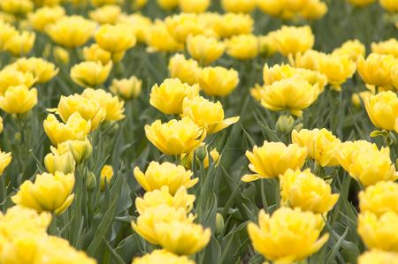 meadow with the bright spring tulips Stock Photo - 2997534